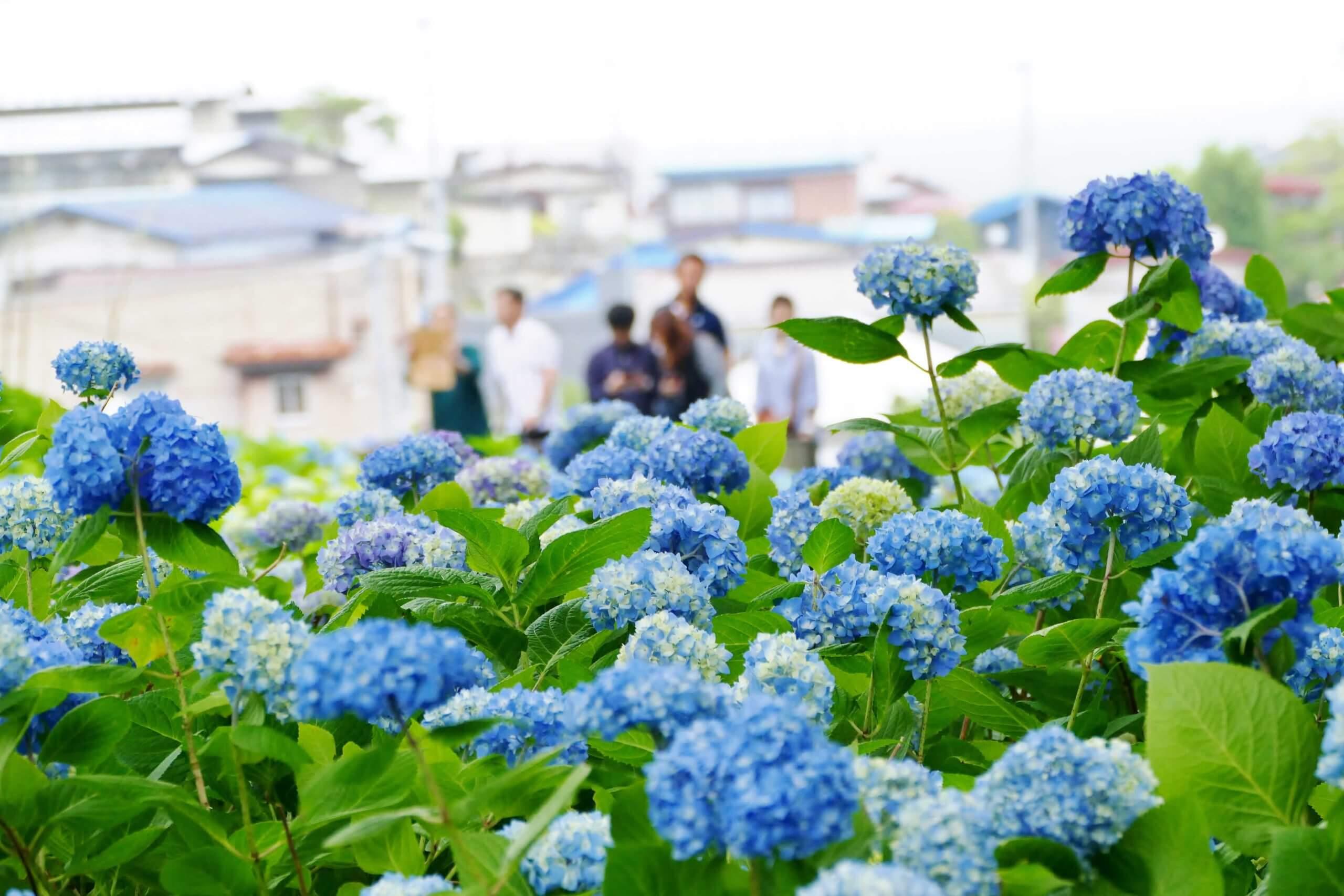 紫陽花の名所で撮影するときのポイント